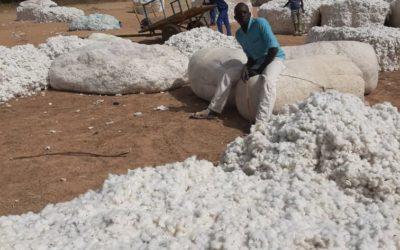 Récolte coton au Cameroun